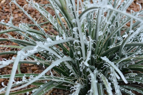 Ice on Red Yucca