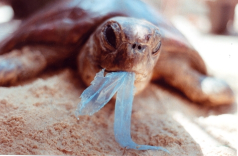 Turtle_eating_bag