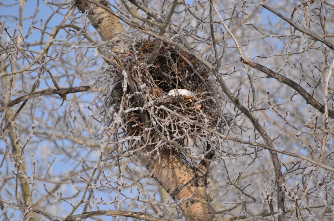 Mystery Nest - Check out how it is built AROUND the branch, so it's more like a wreath....?