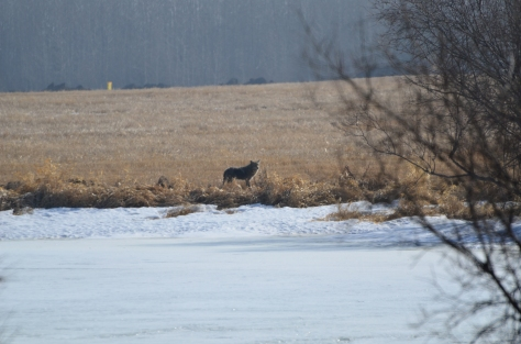 Coyote on a frozen pond
