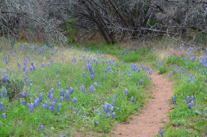 Bluebonnets on the trail