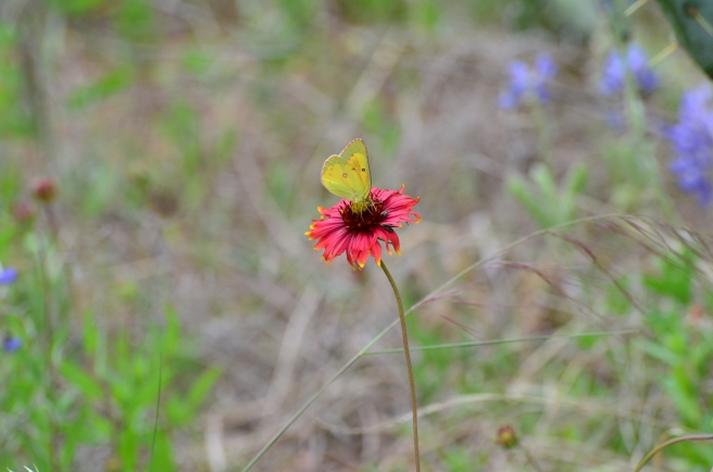 Butterfly on Indian Blanket