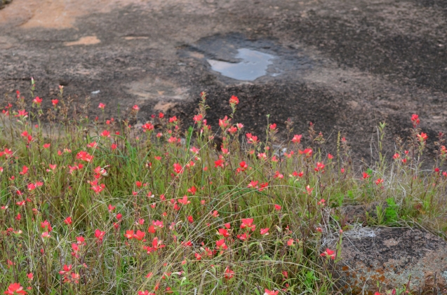 Indian Paintbrush and rocks
