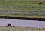 Grizzlies were also frequent visitors to Lamar Valley. This bear was feeding on a wolf kill from several days previous.