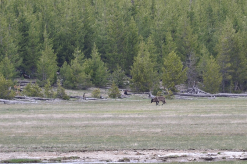 OUR FIRST WILD WOLF SITING! This was a pack of three wolves - a black, a gray, and a white.
