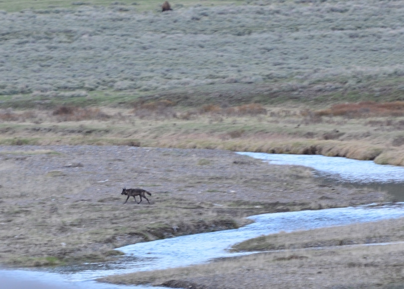 I had almost given up hope of seeing wolves on this day. The sun was setting, and we were running out of light in the valley. But then she showed up! Number 89, a black female.