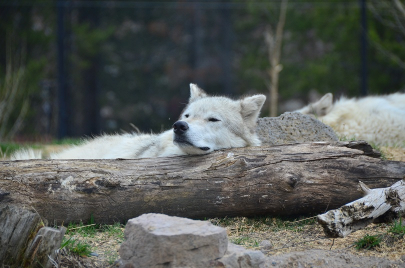and we got to see wolves snooze and look wise.