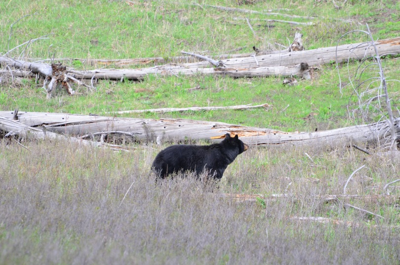 Our first Black bear of the trip! Still one of my favorite species.