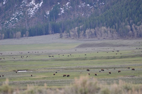 The most beautiful place in the park - Lamar Valley. Herds of bison and antelope throughout the valley.