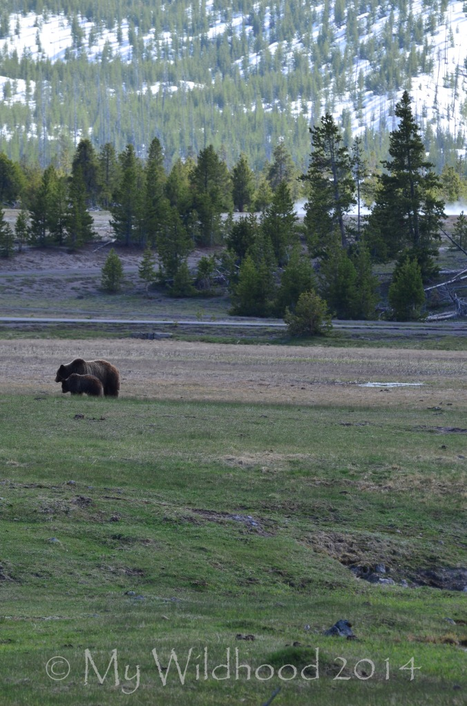Yellowstone May 2014 576