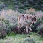 edited wolf001