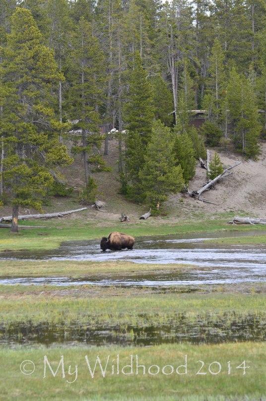 Yellowstone May 2014 1321