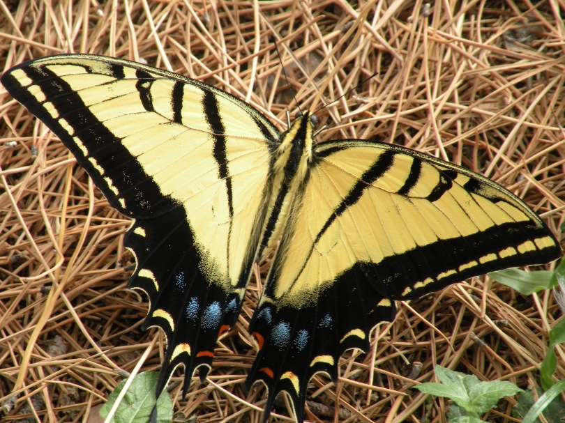 This is my favorite butterfly species - the Two Tailed Swallowtail. They are fairly common in the Big Bend Region, and a different from the Tiger Swallowtail, which has a wider range.