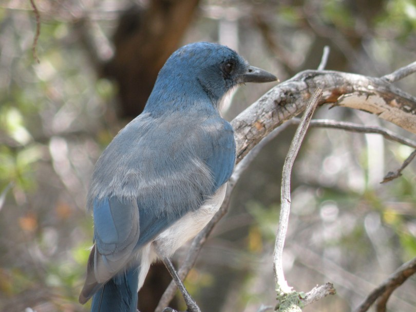 Mexican jays are large, loud, and carnivorous birds. This jay was fighting with others over an alligator lizard that one of the jays had caught, so they were not caring about my presence at all.