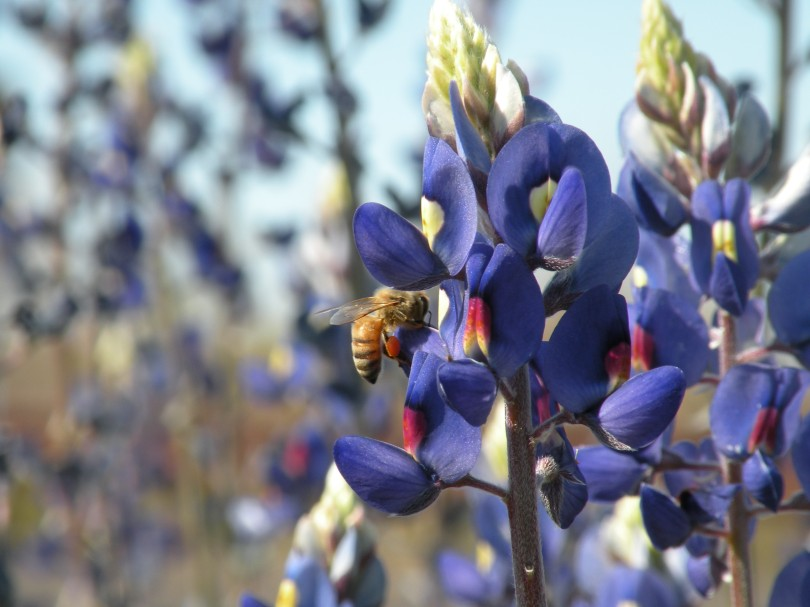The Blue bonnets in Big Bend are a different species than the ones that are seen in the Texas Hill Country. The Big Bend Blue Bonnet is much taller and skinnier, but they feed bees just as well.