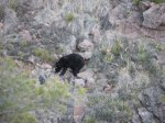 This is a bear I was able to see from my perch above the canyon. It was presumably searching for bugs or other tasty treats under rocks.