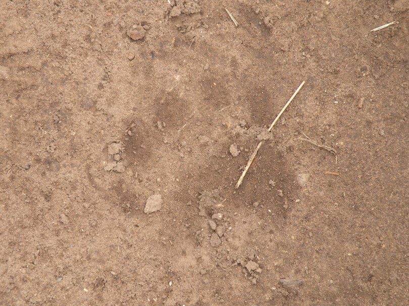Bears were not the only species we were looking for. Mountain lions were always on our mind, but for a very different reason. During the 6 years of hiking in Big Bend, and our 2 collective years of extensive research in the park, we never saw a Mountain lion, although we saw evidence of them quite often.