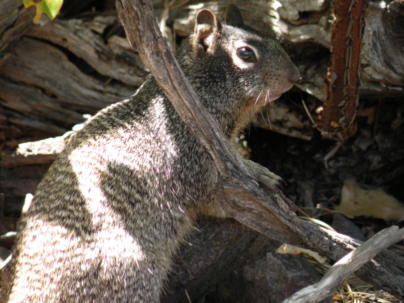 Rock squirrels are everywhere in the mountains, but for some reason this little guy was being particularly photogenic.