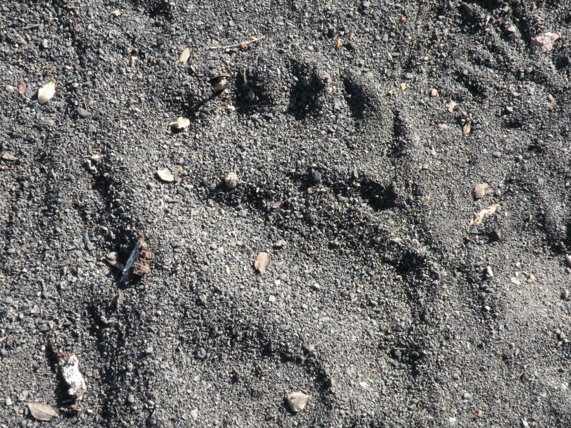 While searching for bears, we often found evidence that bears had been nearby.