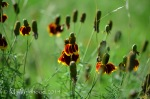 Upright Prairie Coneflower