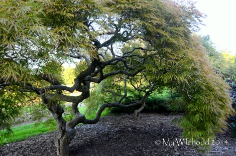 Beautiful Japanese Maple, starting to turn from green to red