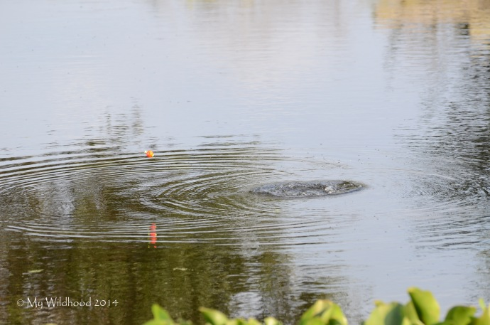 While the man was fishing, the alligator ducked down and tried to grab his line.