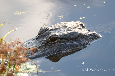 One of the alligators that the girls were baiting.