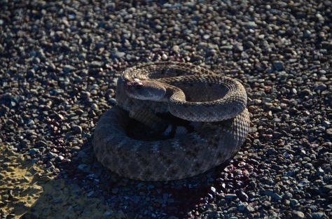 Poor injured rattlesnake