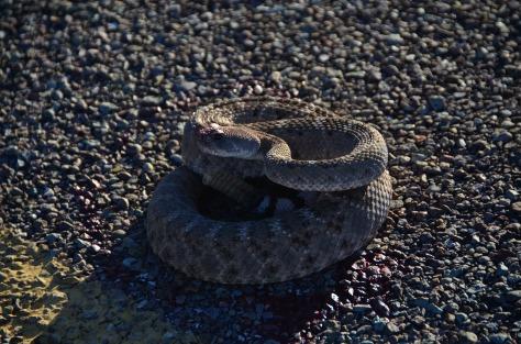 Poor injured rattlesnake
