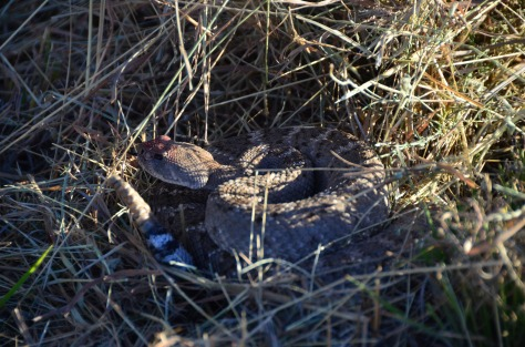 Snake, safely in the grass.