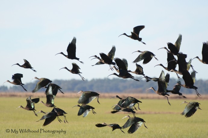 Flock of Glossy Ibis