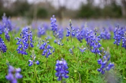 See the bluebonnets down a country road