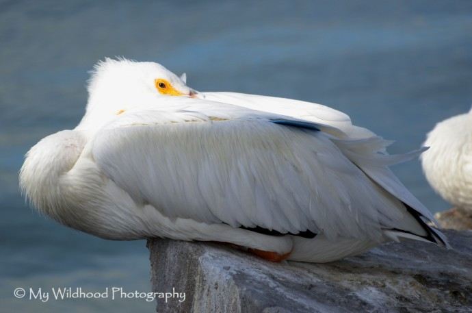 Tagged White Pelican
