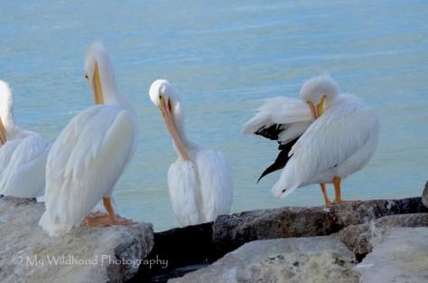 White Pelicans Preening