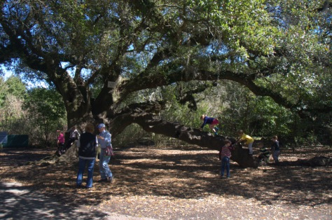Beautiful Coastal Oaks make great climbing trees!