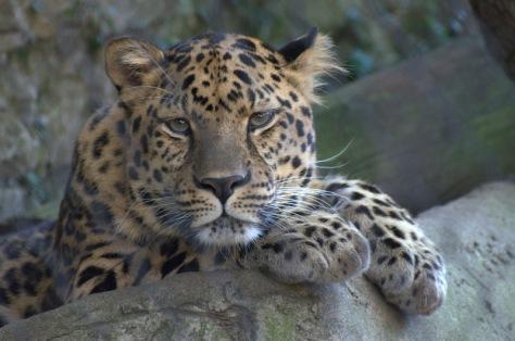 Tranquil Amur Leopard