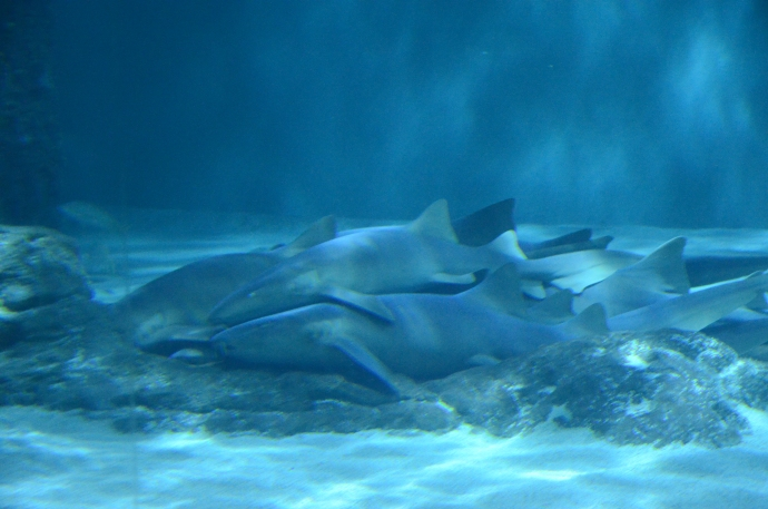 Dog pile of Nurse sharks....Shark Pile?