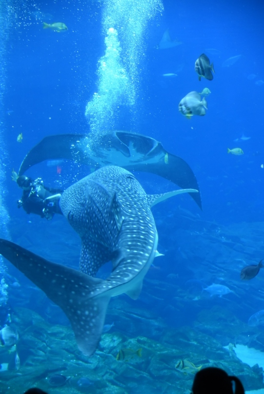Whale shark, diver, and Manta Ray. Look at the size of those guys!