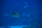 Spotted Eagle rays also reside in the shark tank