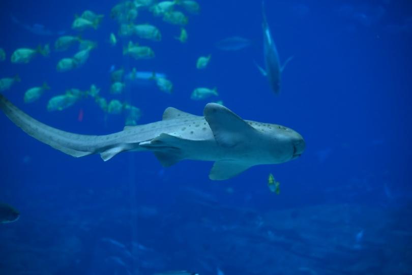 Zebra sharks also call the tank home.