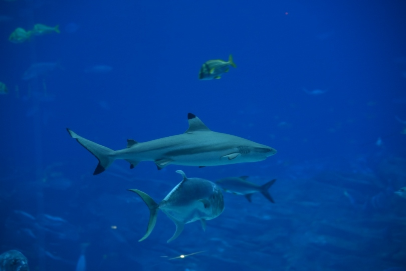 Black tip reef sharks can be found in the tank as well