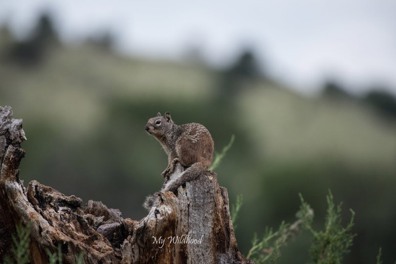 Baby Rock Squirrel, watching the campers
